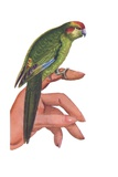 Parakeet Perched on Woman's Hand