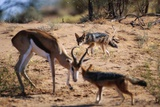 Springbok Fending Off Blackbacked Jackals