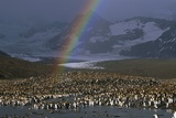 Rainbow over Large King Penguin Colony