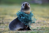 Fishing Net Caught around Fur Seal's Neck