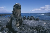 Red Marine Iguanas on Volcanic Rock