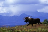 Moose on Tundra Near Mckinley River in Alaska