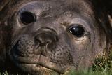 Elephant Seal Lying in Grass