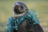 Fishing Net Caught around Fur Seal's Neck