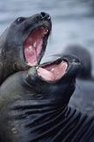 Elephant Seals Sparing
