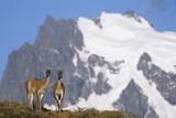 Cerro Paine Grande Rising Behind Llamas