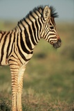 Plains Zebra at Sunset
