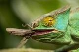 Parsons Chameleon Eating Grasshopper  Madagascar