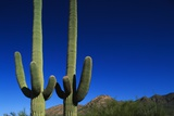 Cactuses at Sunrise