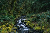 Small Stream Lined with Mossy Rocks in the Olympic National Park