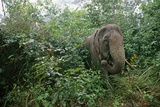 Asian Elephant Standing in Thick Brush