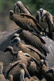 Whitebacked Vultures Sitting on Dead Elephant