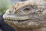 Close-Up of Land Iguana