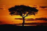 Silhouetted Camelthorn Tree at Sunset