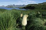 Antarctic Fur Seals Relaxing in Tussock Grass