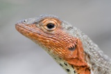 Close-Up of Lava Lizard