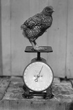 Bird Standing on Weight Scale