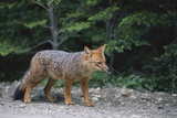 Patagonian Culpeo Fox Being Cautious