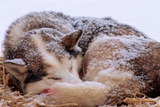Sled Dog Sleeping after the Iditarod