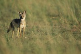 Jackal Standing on Savanna
