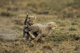 Cheetah Cubs Playing at Ngorongoro Conservation Area