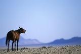 Wild Horse Calling in Namib-Naukluft Park