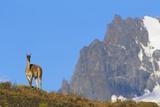 Guanaco Standing Near Cerro Paine Grande