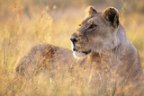 Lioness Resting on Savanna