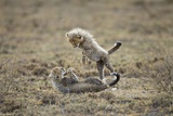 Cheetah Cubs Playing at Ngorongoro Conservation Area  Tanzania