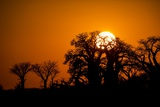 Sunrise at Baines Baobabs  Nxai Pan National Park  Botswana