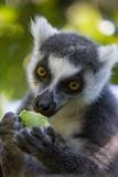 Ring-Tailed Lemur  Ambalavao  Madagascar