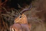Alert Male Impala