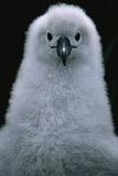 Gray-Headed Albatross Chick