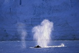Humpback Whales Blowing in Mcfarlane Strait in Antarctica