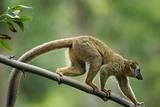 Common Brown Lemur  Madagascar