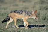 Black-Backed Jackal Walking