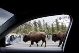American Bison Seen from Car in Yellowstone National Park