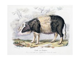 Old English Breed of Pig