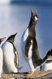 Gentoo Penguin Calling