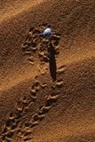 Beetle Crawling Along Sand Dune in Namibia