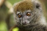 Eastern Gray Bamboo Lemur  Madagascar