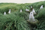 Gray-Headed Albatross Chicks Waiting in Nests