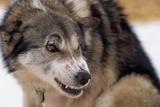 Sled Dog Snarling