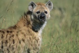 Spotted Hyena Standing in Grass