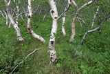 Birch Forest in Iceland