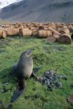 Fur Seal Resting Near Rusted Barrels