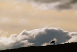 Lone Caribou in Denali National Park