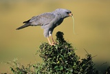 Pale Chanting Goshawk Swallowing Lizard