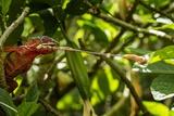 Panther Chameleon  Madagasdar