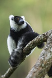 Black and White Ruffed Lemur  Madagascar